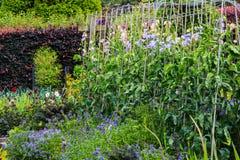 Сладостный горох растя в домашнем саде Стоковое Фото