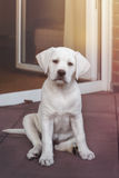 Сладостный маленький милый белый щенок собаки retriever labrador Стоковая Фотография RF