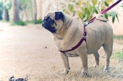 Сладостный мопс ждать терпеливо в саде - II Стоковое Фото