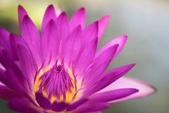 сладостный розовый цветок лотоса Стоковое Изображение RF