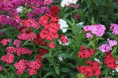 Сладостный сад гвоздики Вильгельма Стоковая Фотография