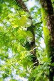сладостный тамаринд Стоковое фото RF