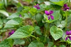 сладостный фиолет Стоковое Изображение RF