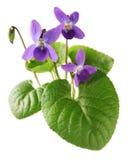 Сладостный фиолет, odorata альта Стоковое фото RF