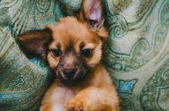 Сладостный щенок Брайна Стоковые Изображения RF
