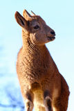 Сладостный ibex Стоковые Фотографии RF
