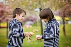 2 сладостных дет, мальчики, играя в парке с утятами Стоковая Фотография RF