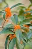 Сладостн-пахнущее дерево османтуса Стоковые Изображения RF