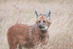 С гривой волк Стоковая Фотография RF