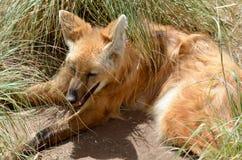 С гривой волк Стоковые Фото