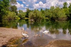 С лебедями с щенятами Стоковая Фотография RF
