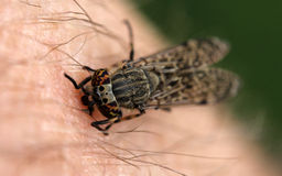 Сдерживая муха Cleg Стоковые Изображения