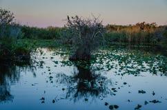 След американской змеешейки - национальный парк болотистых низменностей Стоковое Изображение