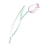 Сделанный эскиз к тюльпан Стоковая Фотография