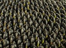 09 20 сделали вопросами семян год солнцецвета Стоковая Фотография