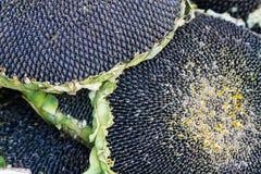 09 20 сделали вопросами семян год солнцецвета Стоковое Изображение