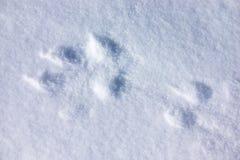 След волка в снеге Стоковая Фотография RF