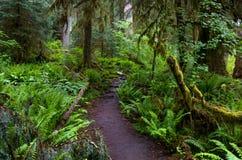 След в тропическом лесе Hoh, олимпийском национальном парке Стоковое Фото