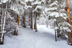След зимы в шагах леса в снеге Стоковые Изображения RF