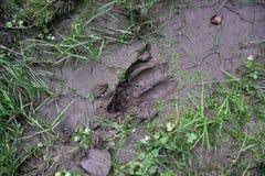 След ноги оленей в грязи Стоковая Фотография