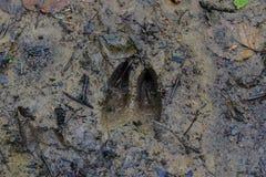 След оленей Whitetail Стоковое Фото