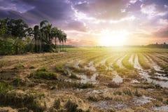 Следует жатки на полях рисовых полей Стоковое фото RF