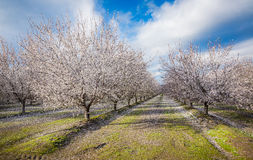 След цветения Калифорнии Стоковое фото RF
