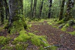 След через мох покрыл деревья, национальный парк Fiordland, южный остров, Новую Зеландию стоковое изображение rf