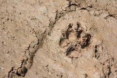Следы лапки следа ноги собаки волка Стоковое Изображение RF