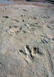 Следы динозавра Стоковое фото RF