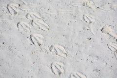 Следы ноги африканских пингвинов, также известные как пингвины Jackass o Стоковое Изображение