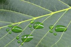 Следы ноги животного на лист зеленого цвета грецкого ореха Стоковое фото RF