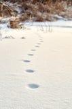 Следы ноги неизвестного дикого животного в снеге Стоковые Фотографии RF