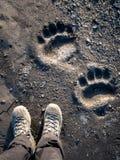 Следы ноги полярного медведя Стоковая Фотография