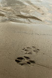 Следы ноги собаки в песке Стоковое Изображение RF