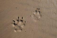 Следы ноги собаки на влажном песке пляжа Стоковое Изображение RF