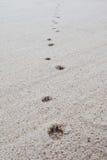 Следы ноги собаки на пляже песка Стоковые Изображения