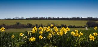 Следы трактора в поле и daffodils Стоковое Изображение RF