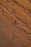 Следы эму в пустыне Стоковое Изображение