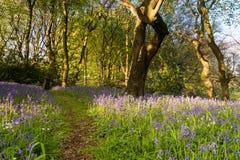 След Bluebell деревянный Стоковое Изображение RF