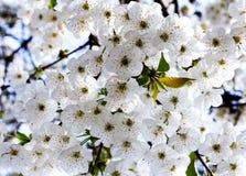Слива Буша blossoming Стоковое фото RF
