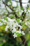Слива вишни Стоковые Изображения RF