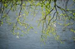 Слива вишни Стоковое Изображение RF