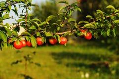 Слива вишни Стоковое Изображение