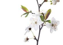 Слива вишни Стоковое Фото