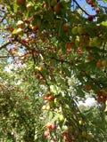 Слива в саде Стоковое фото RF