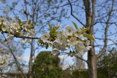 слива итальянки цветений стоковое фото rf
