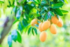 Слива Мэриан Maprang или манго сливы Стоковые Изображения RF