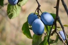 Слива с зрелыми плодоовощами на ветви Стоковая Фотография RF