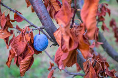 Слива с сухими листьями красного цвета и голубым плодоовощ Стоковые Изображения RF